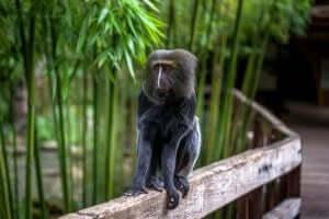 Uilenkopmeerkat in de dierentuin