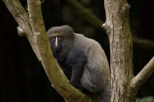 De uilenkopmeerkat: kenmerken en leefomgeving