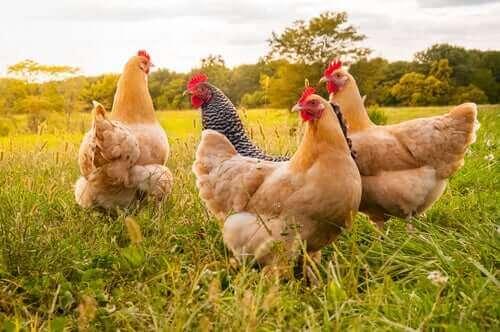 Kippen in het gras
