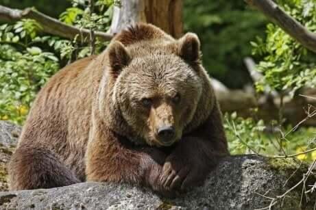 Een grote beer kijkt in de camera