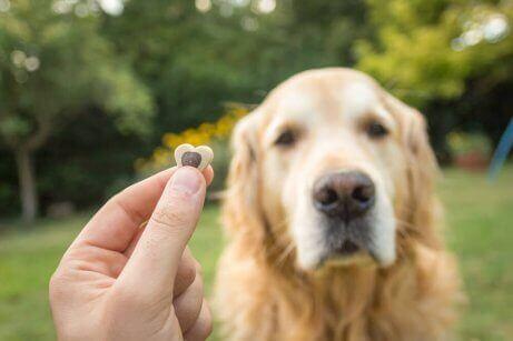 Een golden retriever met een snoepje