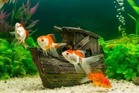 Vier goudvissen in een aquarium