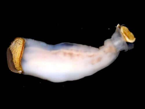 Lithoredo abatanica: een bijzonder weekdier