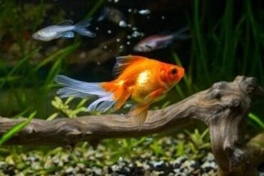 Zorgen voor een goudvis en mogelijke ziekten