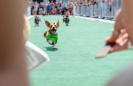 Een hond doet mee aan een race