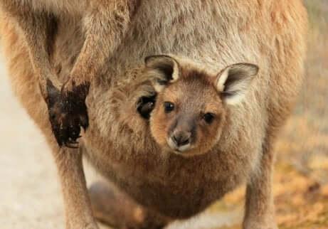 Een baby-kangoeroe in de buidel van zijn moeder