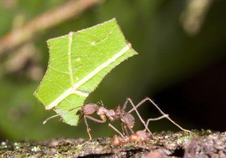 Een mier met een stukje blad