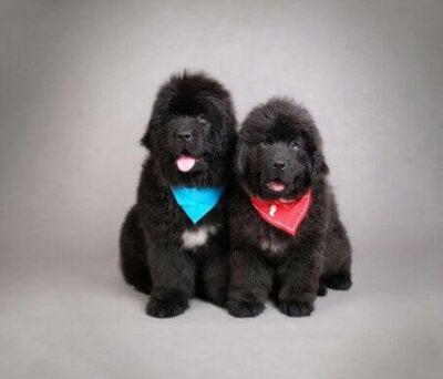 Twee zwarte Newfoundlanders