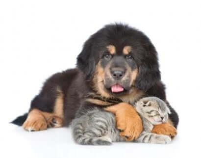 Tibetaanse mastiff met een kat
