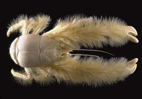 Een afbeelding van een yeti-krab van onderen