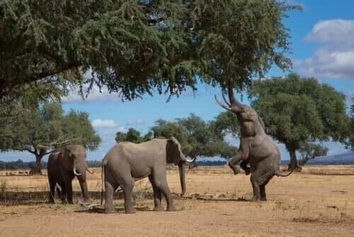 Olifant op zijn achterpoten