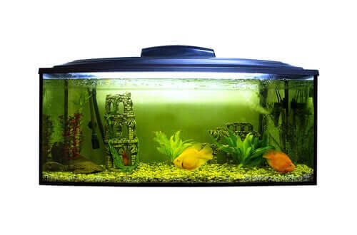 Aquarium met groene alg