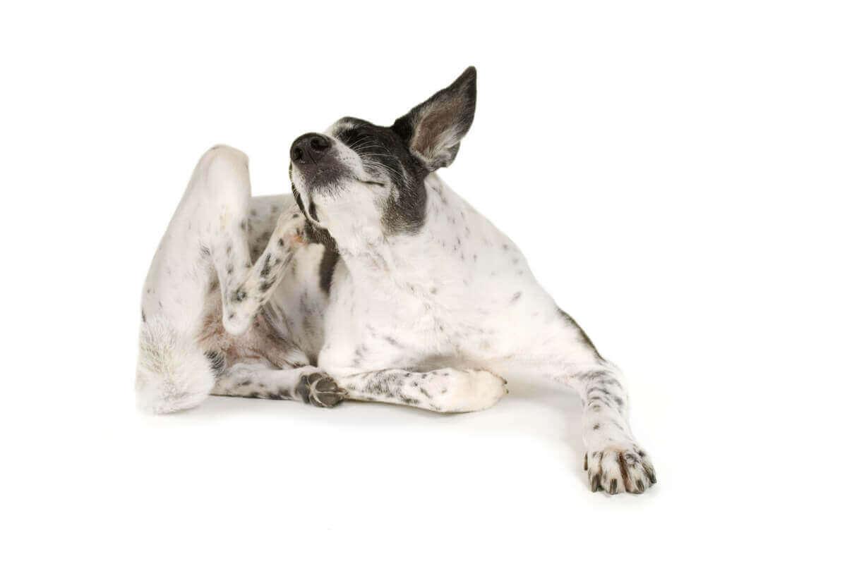 Hond krabt aan zijn oor