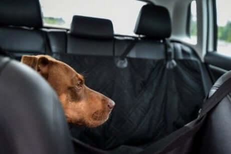 Een hond in de auto op de achterbank