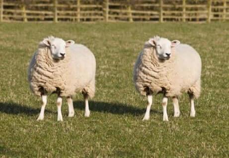 Twee schapen in een veld
