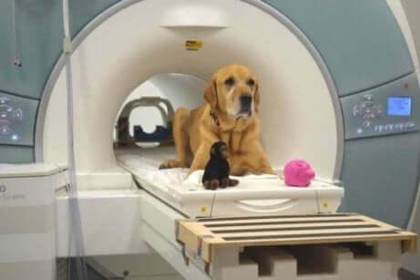 Een hond op een MRI bank