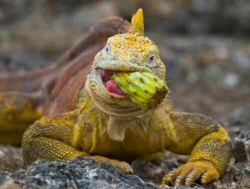 Leguanen hebben een gebrek aan calcium en vitaminen