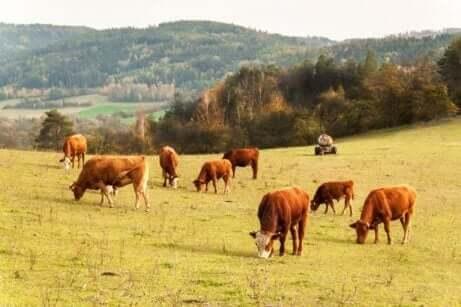 Een kudde koeien graast in de bergen