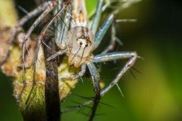 Lachende spinnen: gedrag en leefgebied