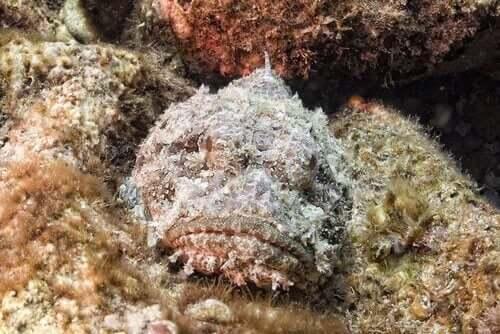 De steenvis, een meester in camouflage