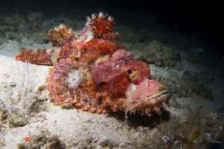 Een oranjekleurige steenvis ligt op de bodem van de zee