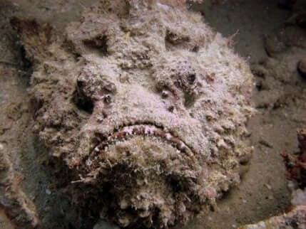 Het gezicht van een steenvis