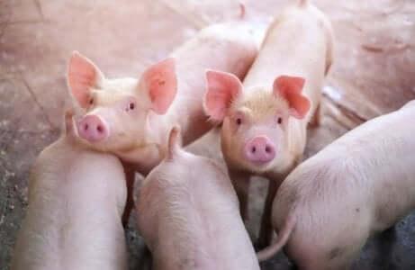 Een groepje varkens kijkt omhoog