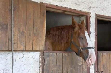 Een paard op stal kijkt naar buiten