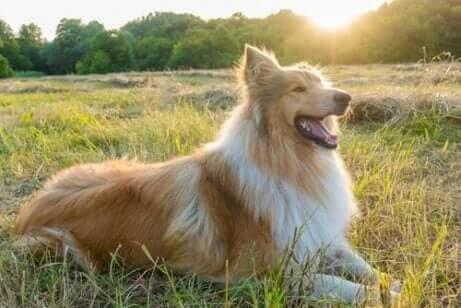 Een collie, een van de rustige hondenrassen