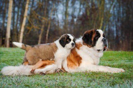Een Sint-bernard moeder met haar pup