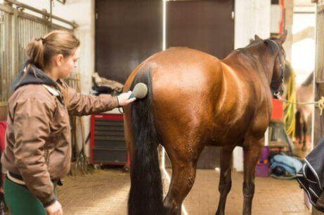 Een vrouw borstelt de staart van een paard