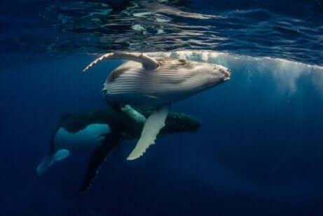 Twee walvissen onder water