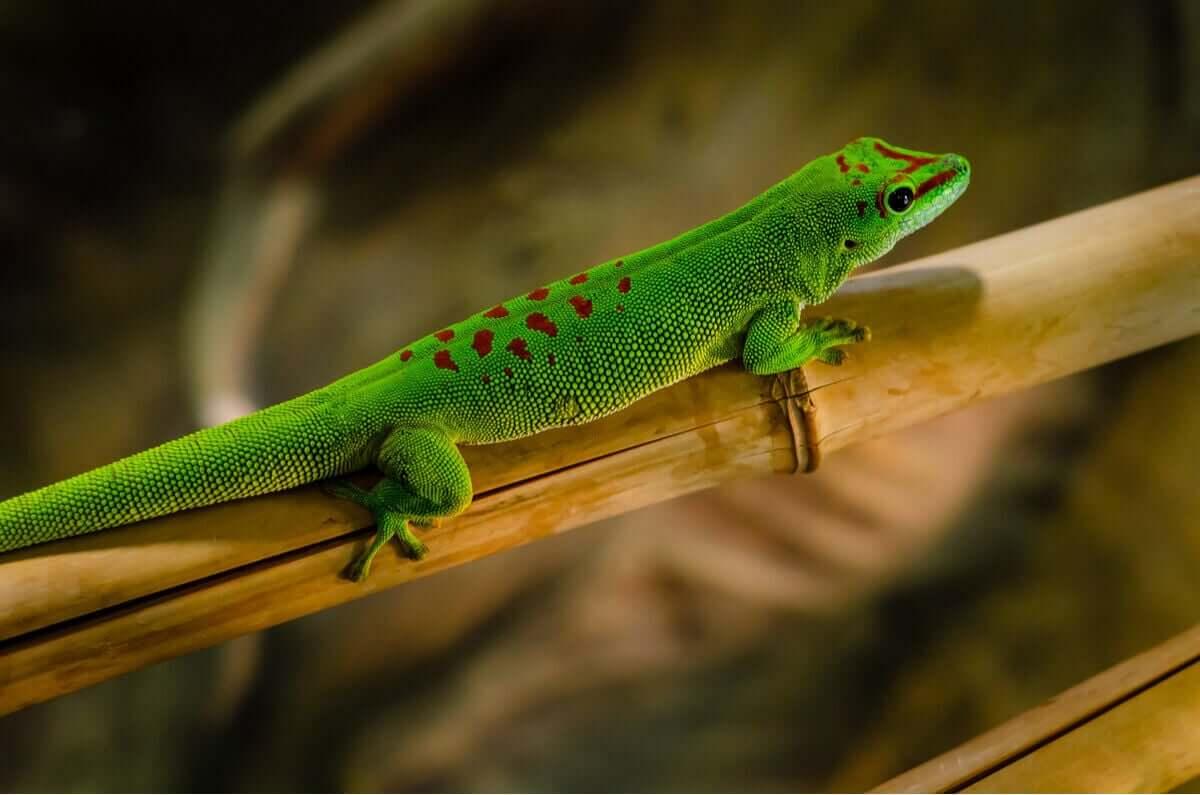 Groene gekko met rode vlekken
