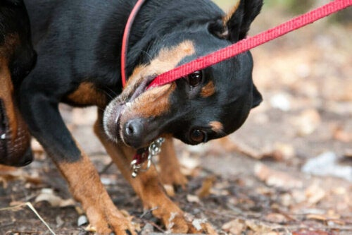 Wat te doen als je hond in zijn riem bijt?