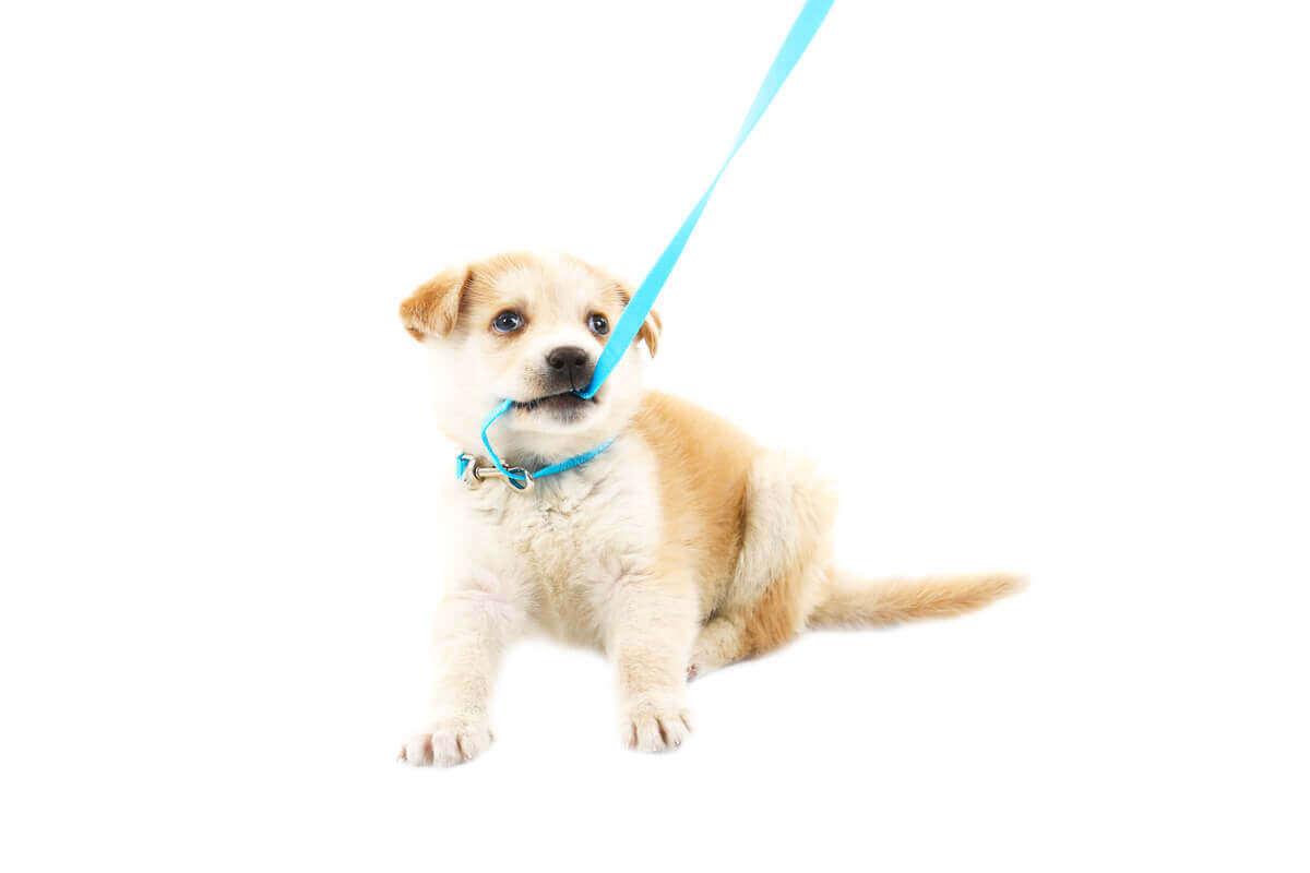 Pup die in zijn riem bijt