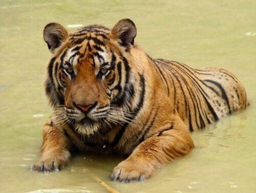 De Zuid-Chinese tijger op de rand van uitsterven