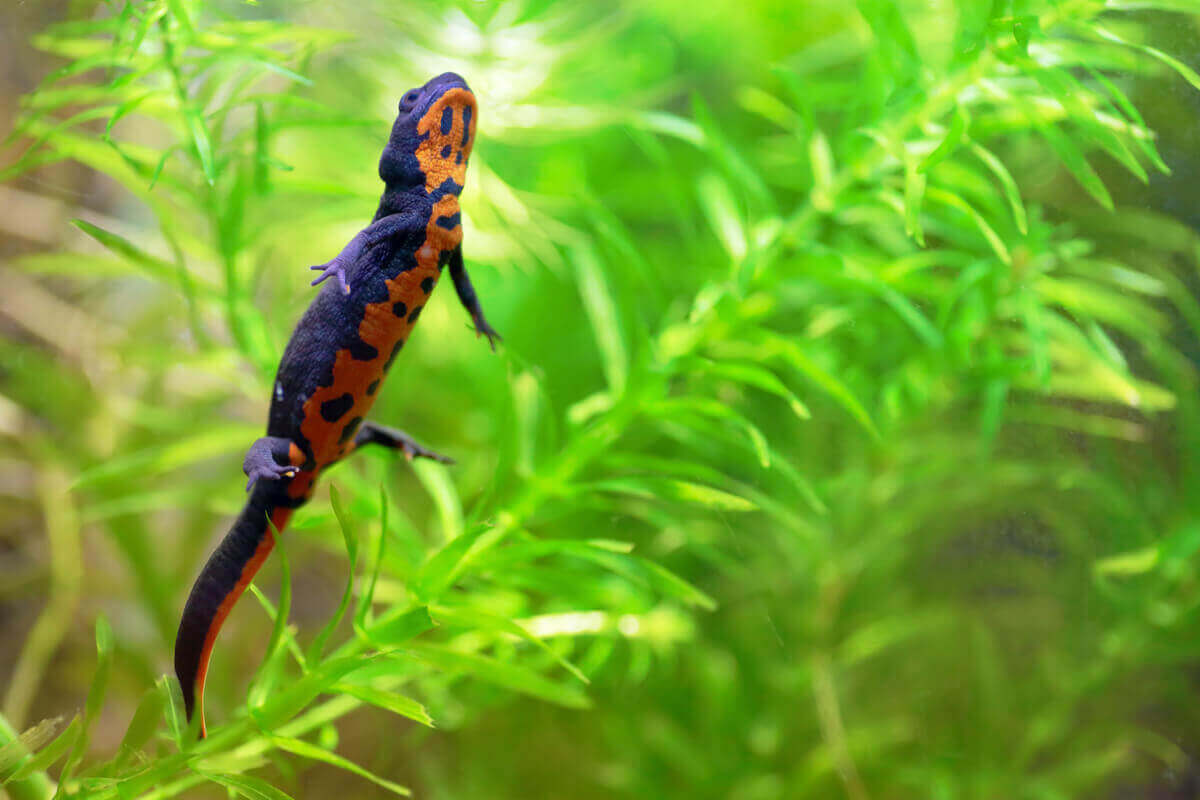 Salamander onder water
