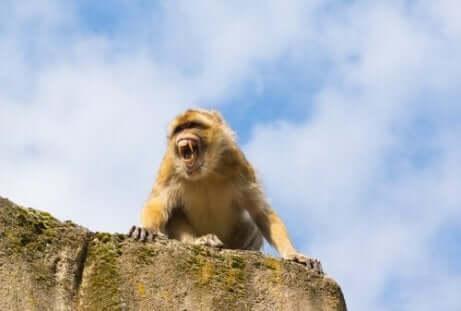 Een aap laat zijn tanden zien