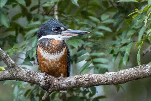 Afrikaanse reuzenijsvogel: gewoonten en voortplanting