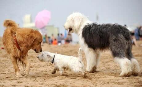Drie honden spelen op het strand