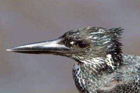 De kop van een reuzenijsvogel