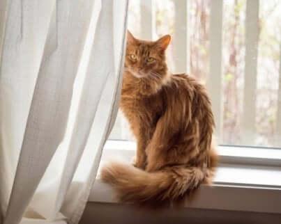 Een somalische kat zit op de vensterbank