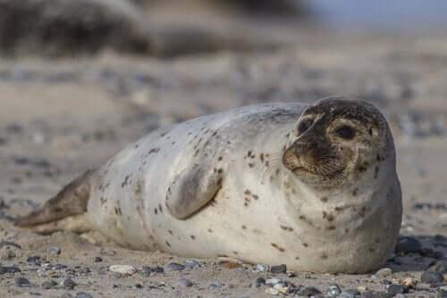Kenmerken van de gewone zeehond