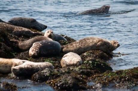 Een groep zeehonden ligt op een rots