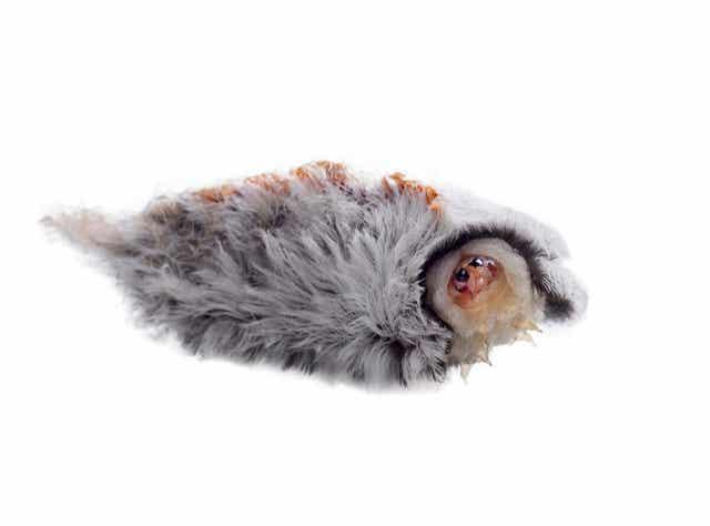 Voorkant van een rups van de flanelmot