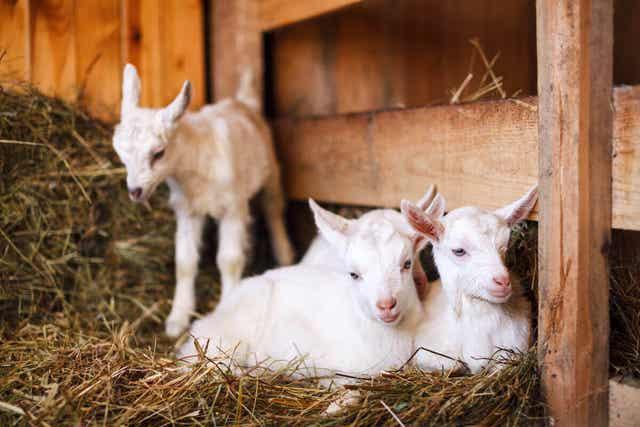 Drie jonge geitjes in een stal