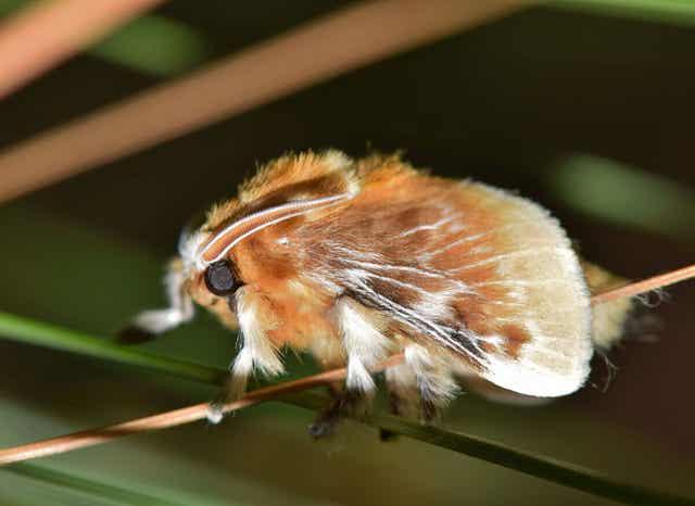 Close-up van een flanelmot