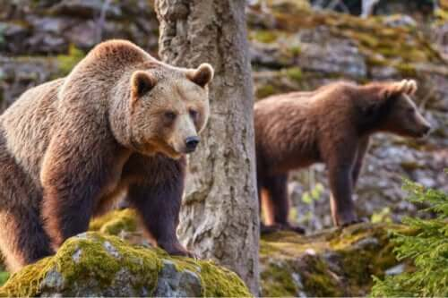 Klimaatverandering en de Cantabrische bruine beer