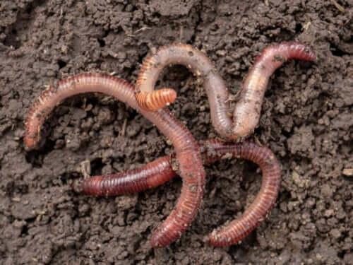 Ontdek hoe wormen zich voortplanten