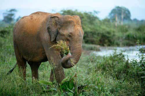 Een olifant in het wild eet gras